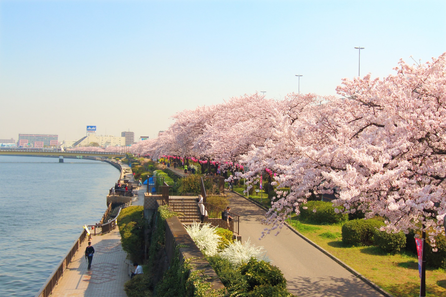 Lễ hội hoa anh đào ở Nhật Bản