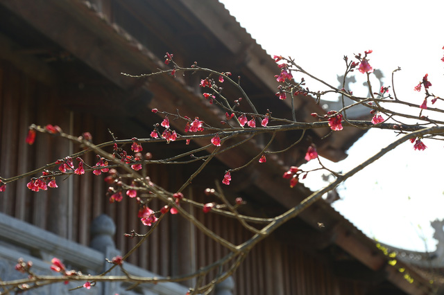 Đến Fansipan Legend chiêm ngưỡng nhiều giống đào quý hiếm - Ảnh 7.