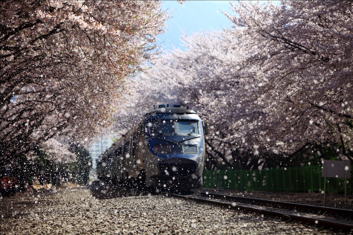 Đến Hàn Quốc vào tháng 3, tháng 4 để được đắm chìm trong thế giới lãng mạn của hoa anh đào - Ảnh 1.