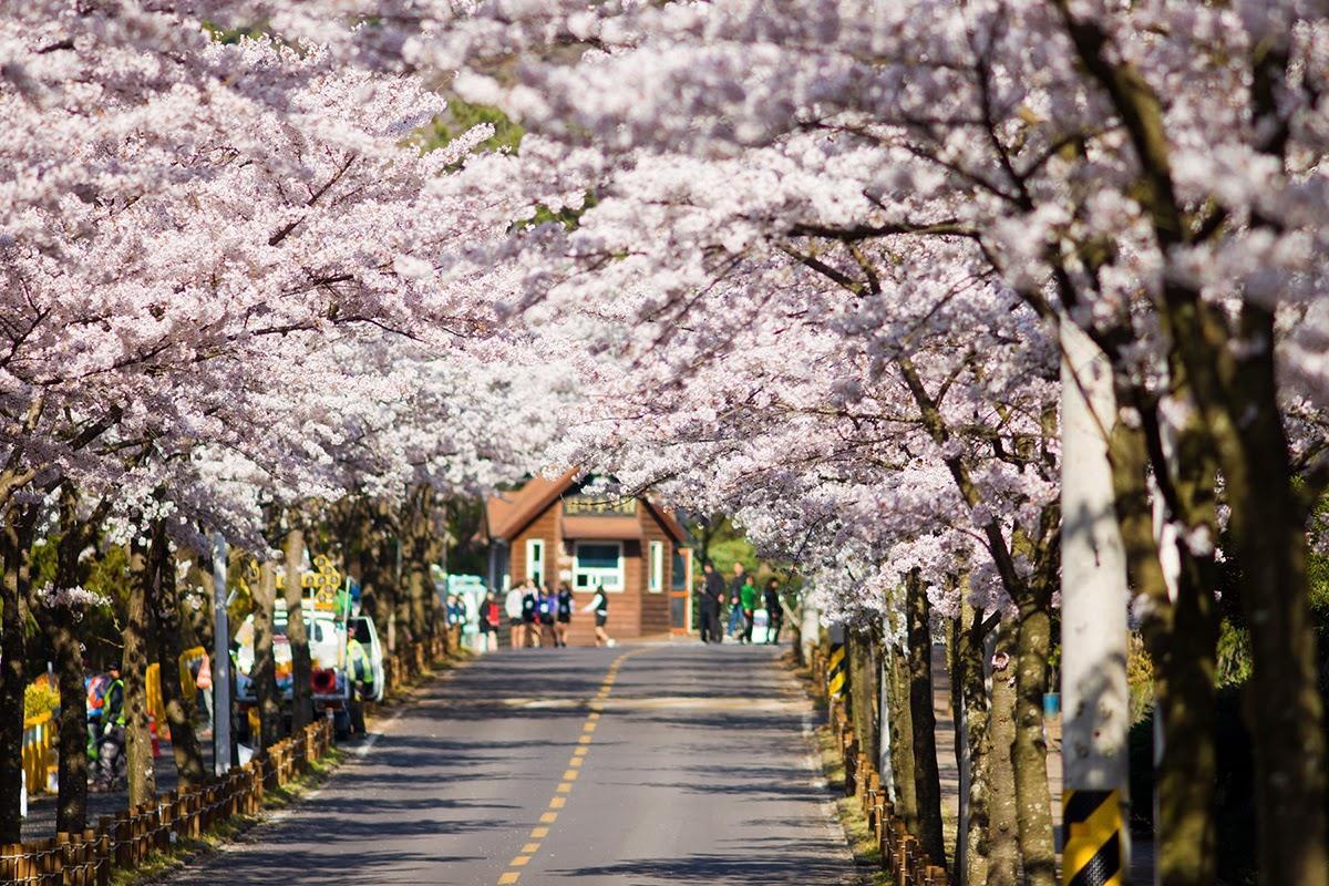 Đến Hàn Quốc vào tháng 3, tháng 4 để được đắm chìm trong thế giới lãng mạn của hoa anh đào - Ảnh 3.