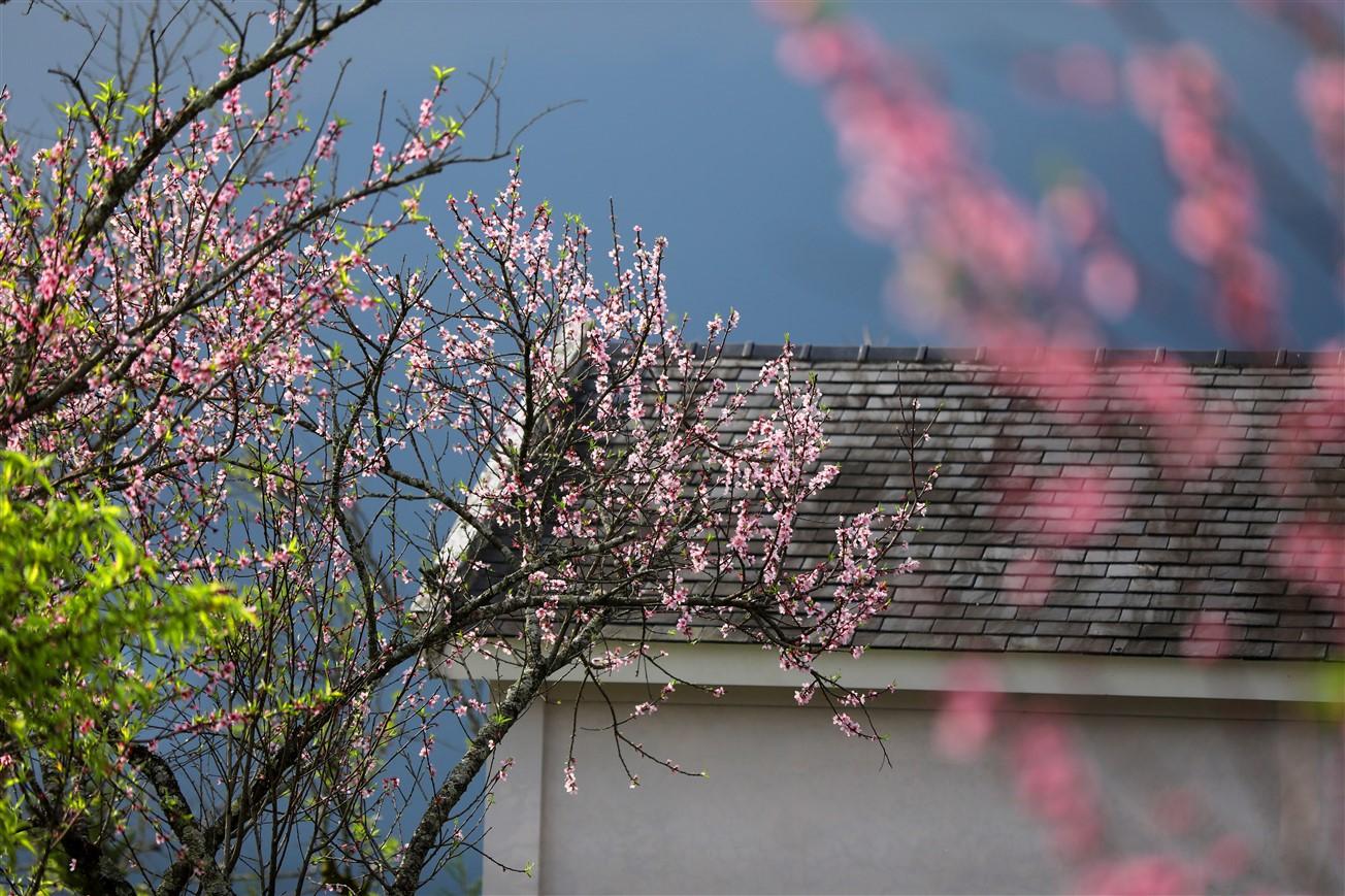 Cận cảnh thiên đường hoa nở trong mây ở Fansipan - Ảnh 2.