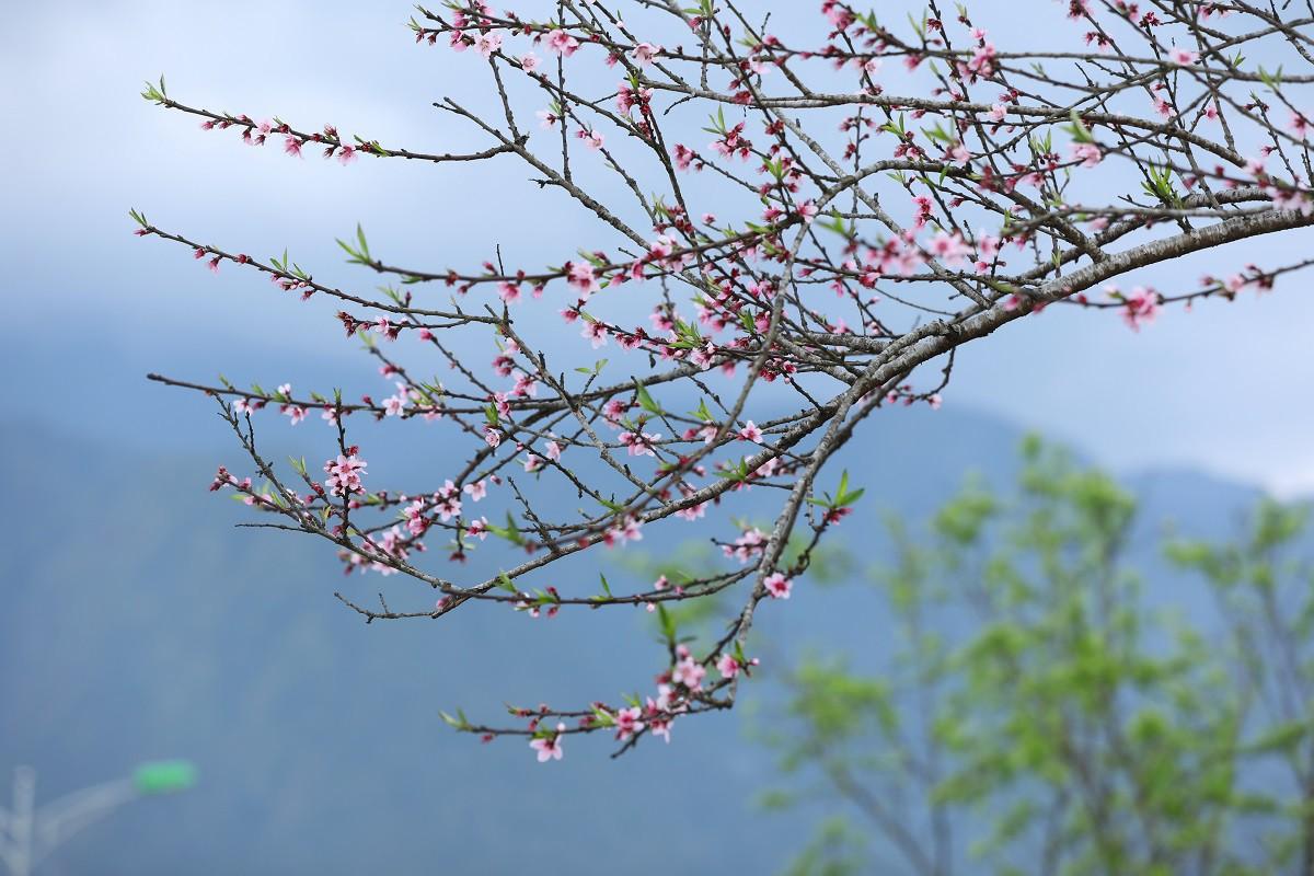 Cận cảnh thiên đường hoa nở trong mây ở Fansipan - Ảnh 3.