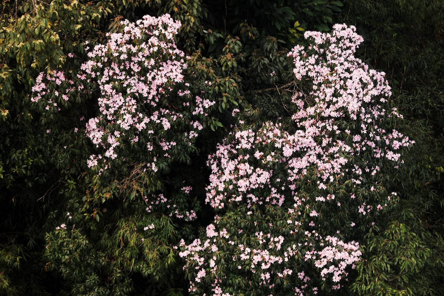Xách ba lô lên và khám phá vương quốc hoa đỗ quyên - Ảnh 3.