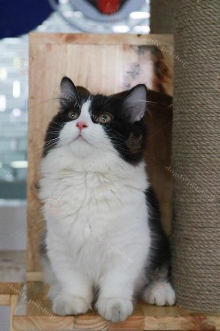 Munchkin – loài mèo có 4 chân siêu ngắn - Ảnh 2.