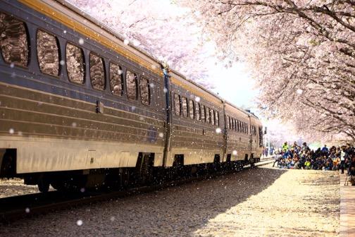 Đến xứ Hàn, đừng quên mục sở thị những thiên đường hoa anh đào tuyệt đẹp này - Ảnh 1.