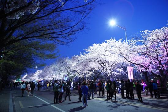 Đến xứ Hàn, đừng quên mục sở thị những thiên đường hoa anh đào tuyệt đẹp này - Ảnh 3.