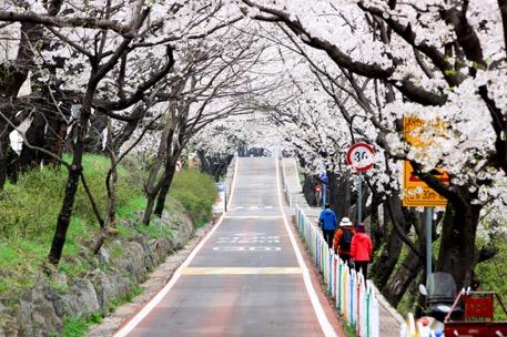 Đến xứ Hàn, đừng quên mục sở thị những thiên đường hoa anh đào tuyệt đẹp này - Ảnh 5.