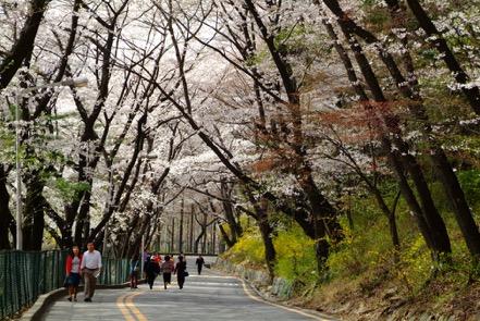 Đến xứ Hàn, đừng quên mục sở thị những thiên đường hoa anh đào tuyệt đẹp này - Ảnh 7.