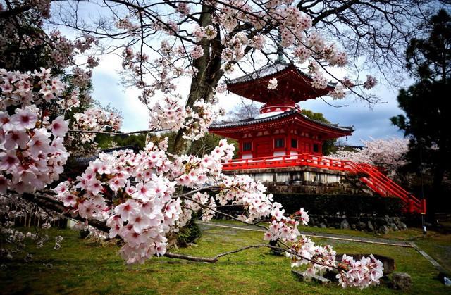 4 địa điểm ngắm hoa anh đào được du kháchViệt đặc biệt yêu thích - ảnh 2