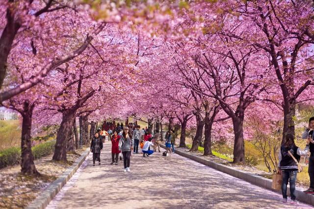 4 địa điểm ngắm hoa anh đào được du kháchViệt đặc biệt yêu thích - ảnh 5