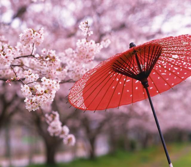 4 địa điểm ngắm hoa anh đào được du kháchViệt đặc biệt yêu thích - ảnh 3