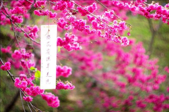 4 địa điểm ngắm hoa anh đào được du kháchViệt đặc biệt yêu thích - ảnh 7