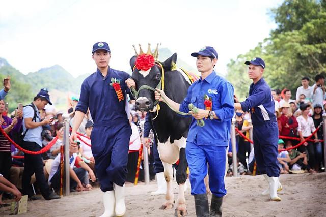 Hội thi hoa hậu bò sữa năm 2019 - Ảnh 1.