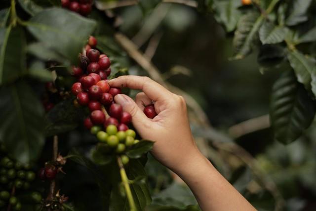 Trương Anh Ngọc - Hành trình đi tìm chất của cà phê Việt - Ảnh 2.