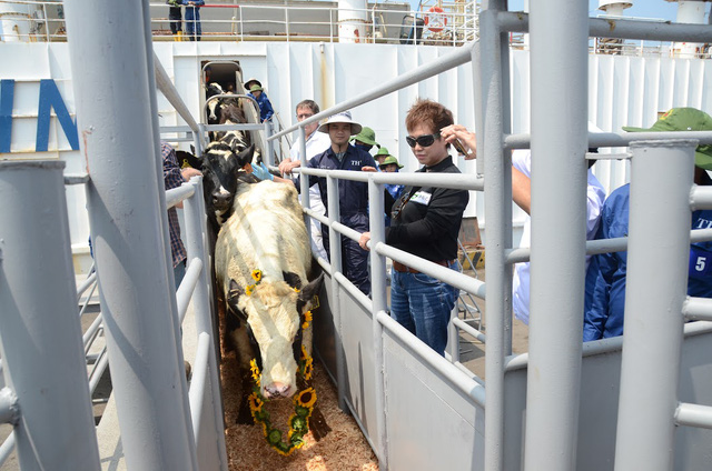 Những cô bò sữa cao sản Mỹ đầu tiên được Tập đoàn TH nhập khẩu về Việt Nam.