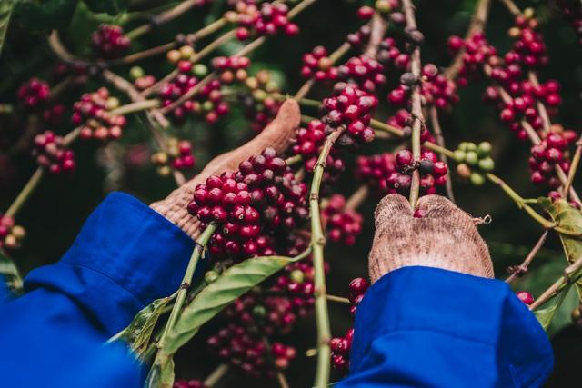 Thị trường cà phê Việt, cơ hội trong tay ai? - Ảnh 1.