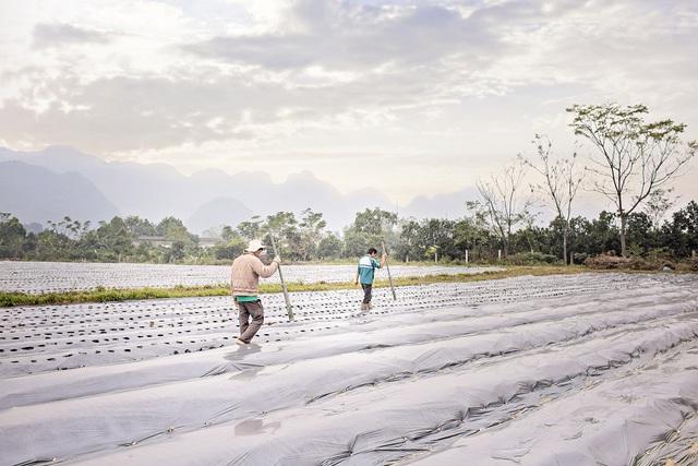 Thâm nhập thực tế khu trồng dược liệu cà gai leo tại huyện Mỹ Đức – Hà Nội - Ảnh 3.
