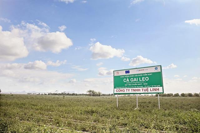Thâm nhập thực tế khu trồng dược liệu cà gai leo tại huyện Mỹ Đức – Hà Nội - Ảnh 8.