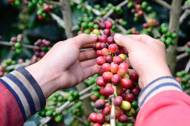 Phúc Sinh Group và câu chuyện tiêu thụ cà phê nội địa - Ảnh 2.