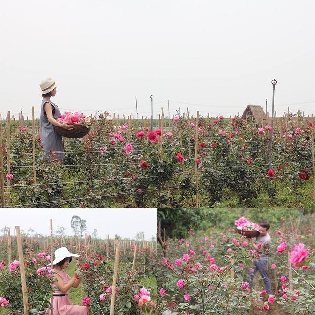 Đầu tư tiền tỉ xây dựng trang trại hoa hồng ngoại,9x nhận kết bất ngờ - Ảnh 1.