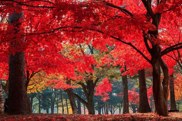 Đến Hàn Quốc ngay đi, lá chuyển sang màu đỏ rồi - Ảnh 6.