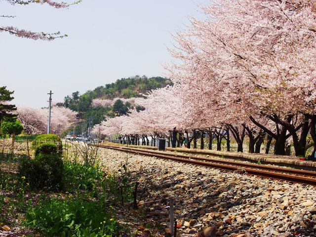 Đến xứ Hàn, đừng quên mục sở thị những thiên đường hoa anh đào tuyệt đẹp này - Ảnh 2.