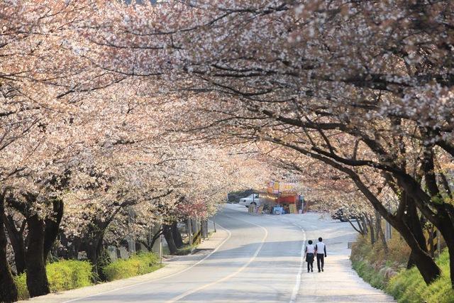 Đến xứ Hàn, đừng quên mục sở thị những thiên đường hoa anh đào tuyệt đẹp này - Ảnh 6.