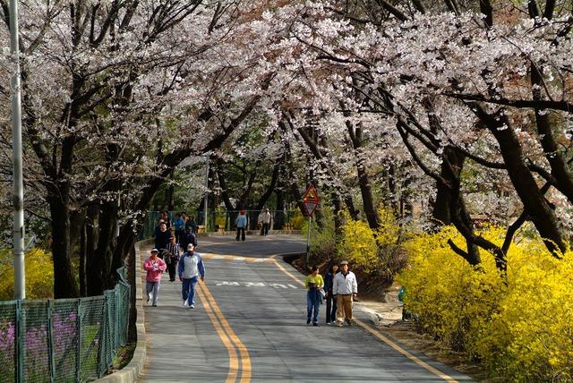 Đến xứ Hàn, đừng quên mục sở thị những thiên đường hoa anh đào tuyệt đẹp này - Ảnh 8.