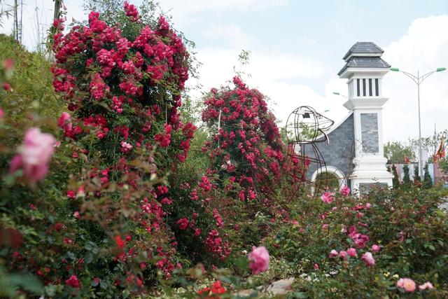 Vườn hồng khủng tại Fansipan đốn tim du khách - Ảnh 1.