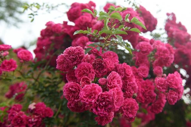 Vườn hồng khủng tại Fansipan đốn tim du khách - Ảnh 5.