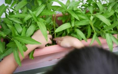 Cách trồng rau muống bằng cành lớn nhanh như thổi