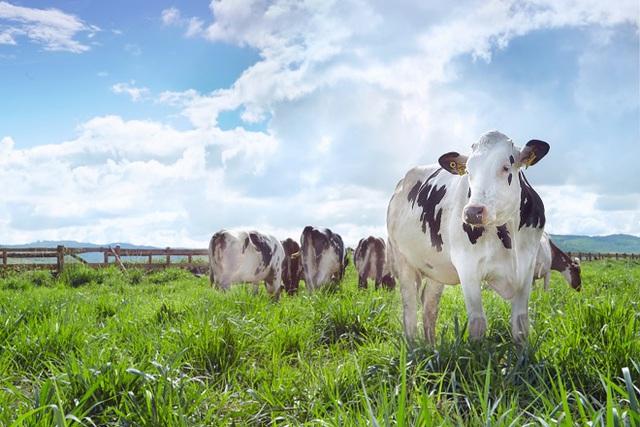 Vinamilk đạt chứng nhận trang trại bò sữa organic đầu tiên tại Việt Nam - Ảnh 3.
