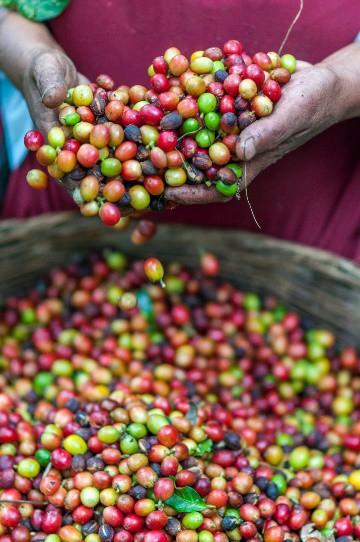 """Hành trình luyện """"vàng đen"""": từ hạt cà phê rang đến ly cà phê hảo hạng - Ảnh 1."""