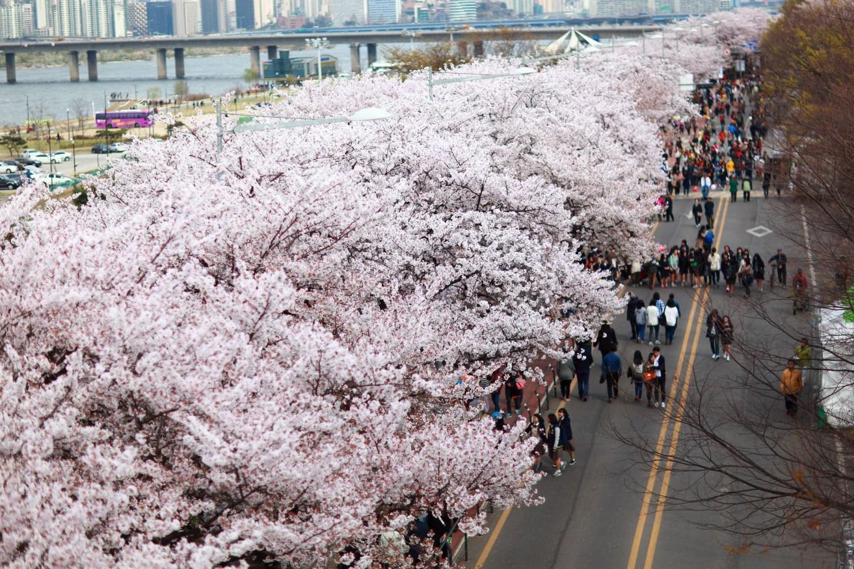 Đến Hàn Quốc vào tháng 3, tháng 4 để được đắm chìm trong thế giới lãng mạn của hoa anh đào - Ảnh 5.