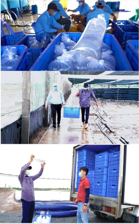 Quy trình sản xuất tôm giống thuần Việt chất lượng cao - Ảnh 4.