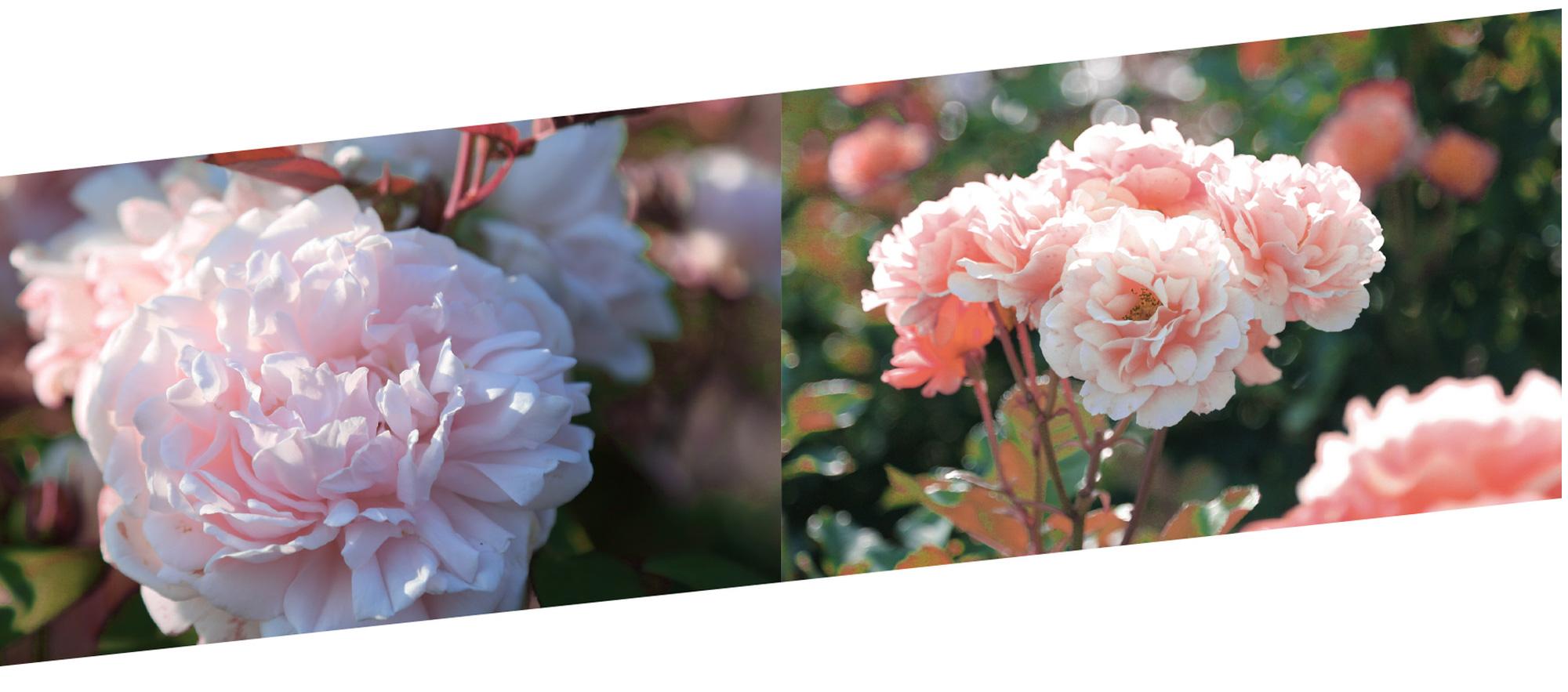 """Hè năm nay, hãy kết nạp """"siêu phẩm hoa hồng Hokkaido vào công cuộc skincare để mang thanh xuân về cho làn da của bạn - Ảnh 3."""