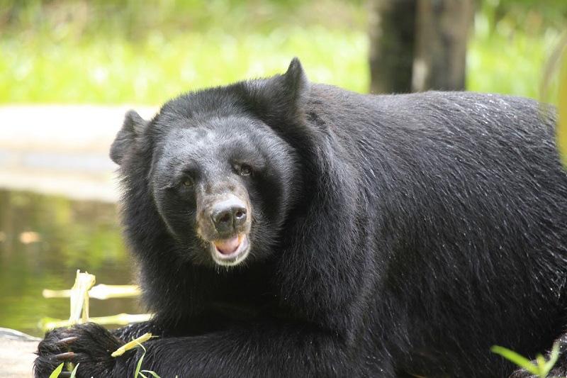 Vinpearl Safari hồi sinh thần kỳ cho gấu ngựa - Ảnh 3.