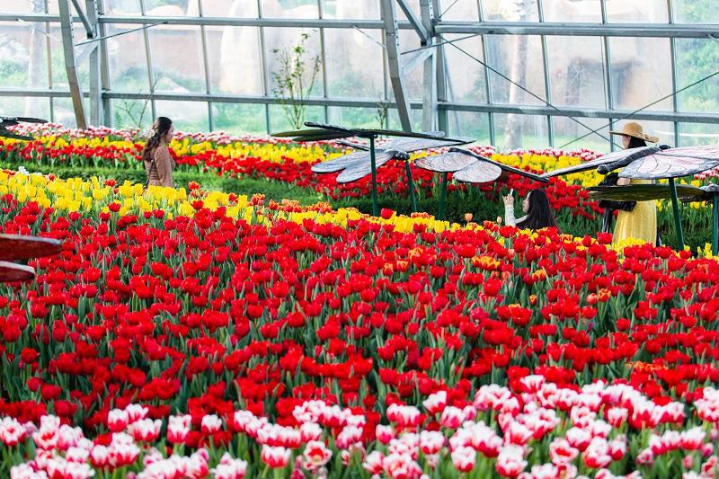 Khám phá mùa hoa Hà Lan tại đảo nhiệt đới Hòn Tre - Ảnh 2.