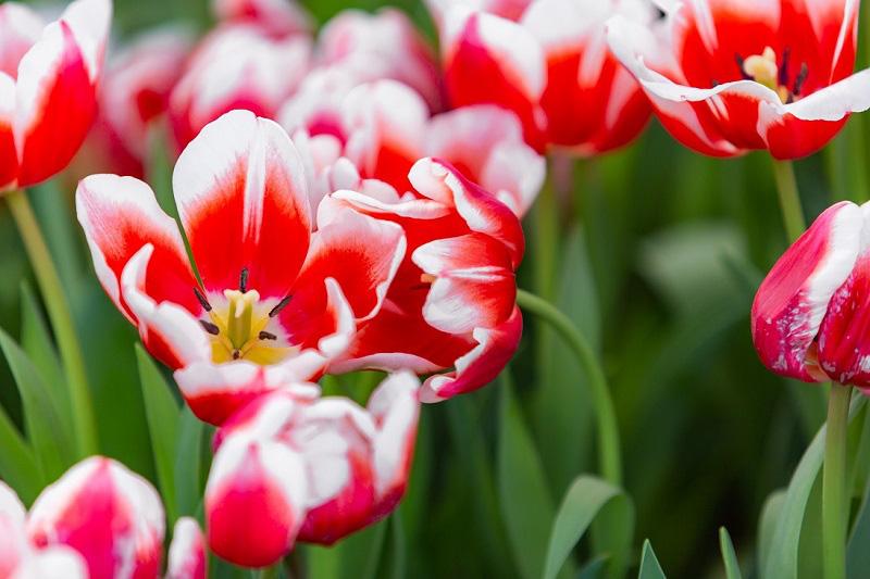 Khám phá mùa hoa Hà Lan tại đảo nhiệt đới Hòn Tre - Ảnh 3.