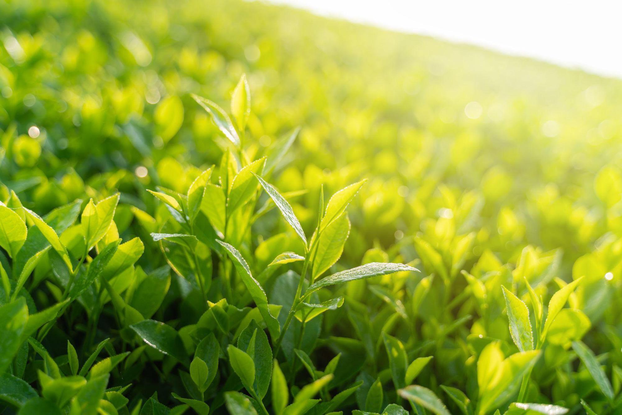 Uống trà mỗi ngày, cơ thể bạn sẽ thay đổi tích cực ra sao? - Ảnh 1.