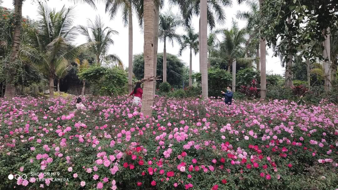 Hơn một triệu bông hồng nở hoa rực rỡ khắp Ecopark - Ảnh 2.