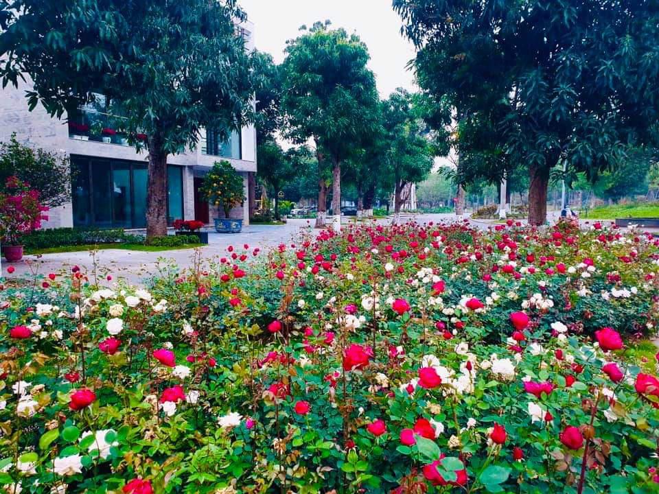 Hơn một triệu bông hồng nở hoa rực rỡ khắp Ecopark - Ảnh 10.