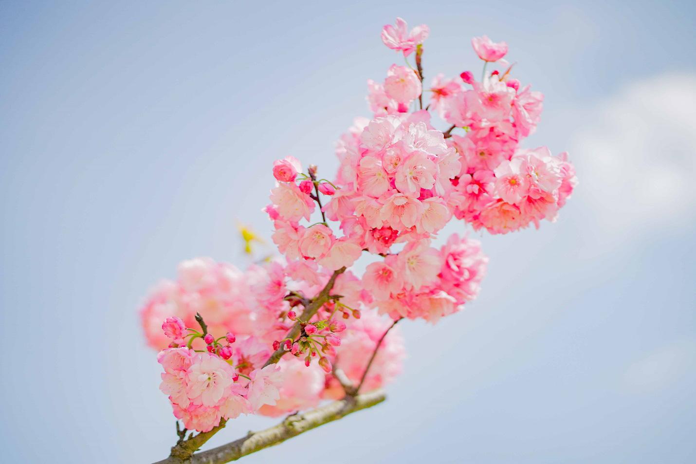 Choáng ngợp anh đào Nhật Bản, đào rừng Fansipan nở rộ đẹp rực rỡ - Ảnh 1.