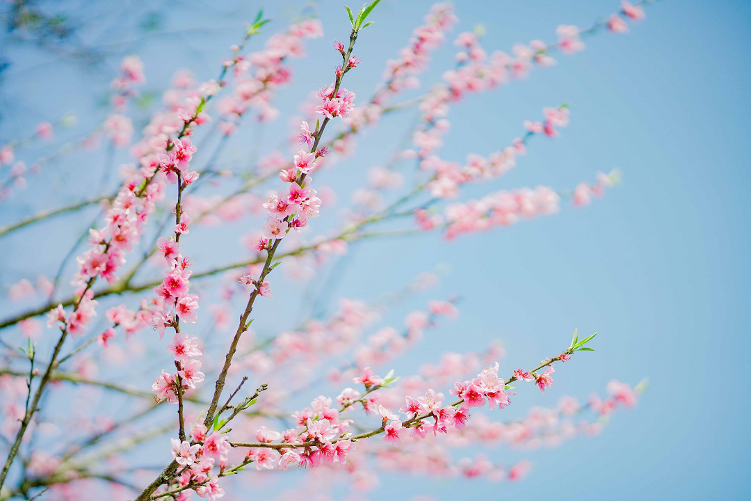 Choáng ngợp anh đào Nhật Bản, đào rừng Fansipan nở rộ đẹp rực rỡ - Ảnh 4.