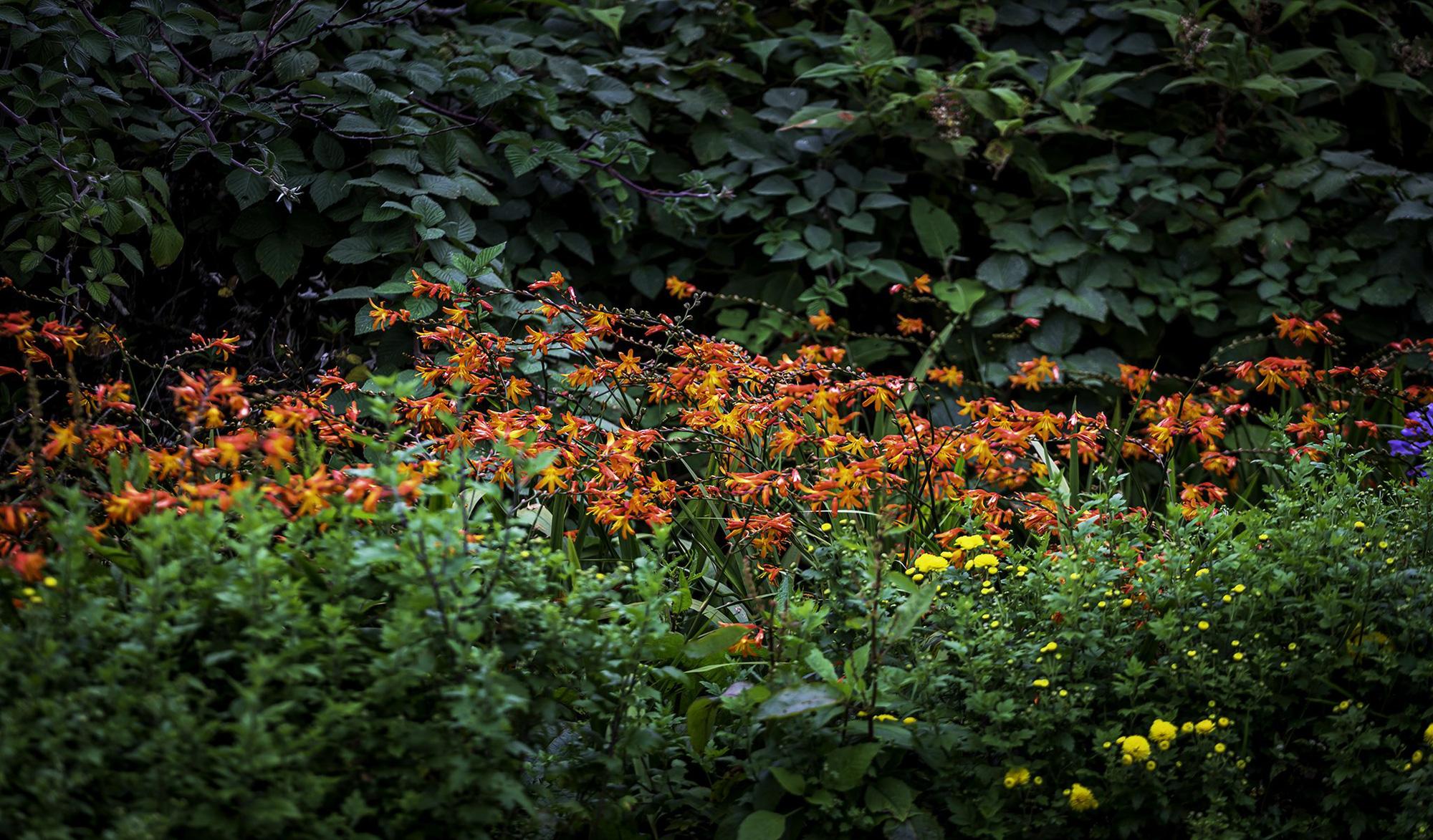 Mênh mông sắc vàng cam của hoa dơn lúa đẹp kiêu sa trên đỉnh Fansipan - Ảnh 1.