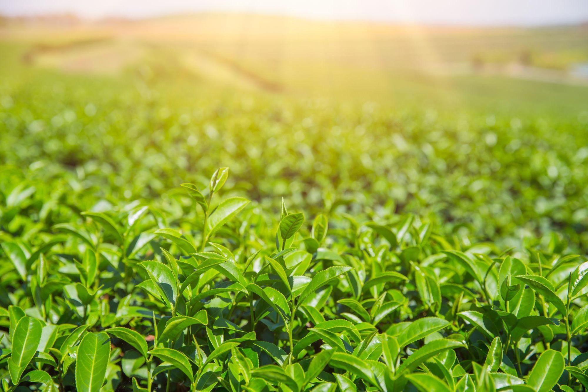 Xoắn não cùng Gen Z phân biệt trà ô long và trà xanh tự nhiên - Ảnh 5.