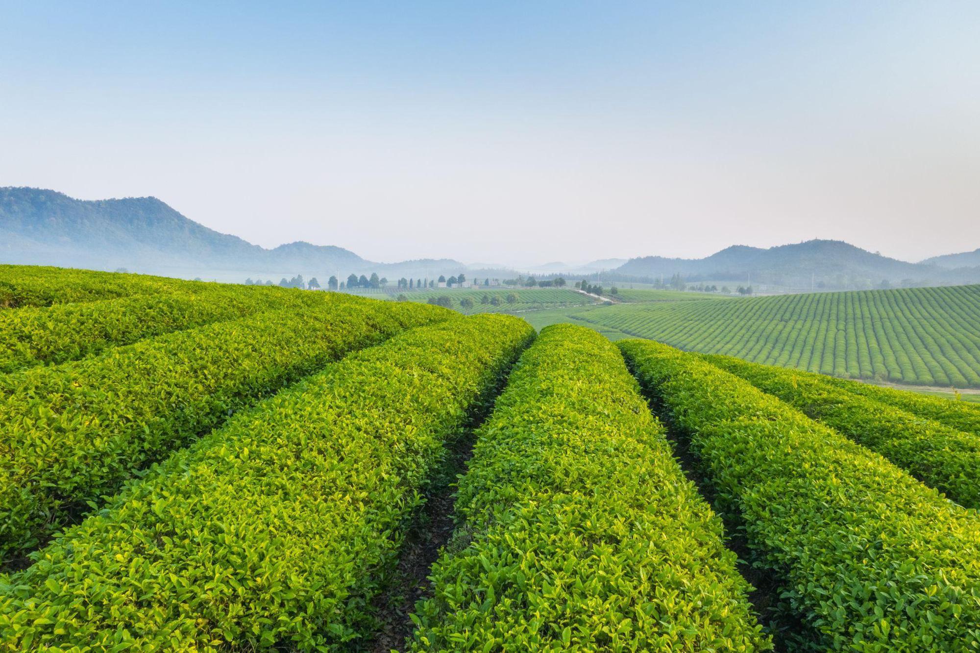 Xoắn não cùng Gen Z phân biệt trà ô long và trà xanh tự nhiên - Ảnh 6.