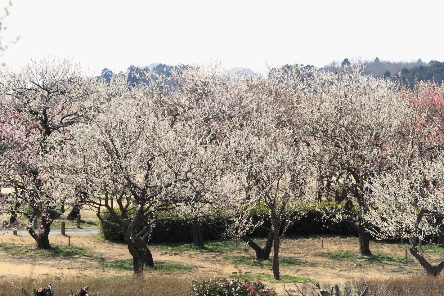 """Rủ nhau """"lạc"""" giữa ngàn hoa trên """"cung đường kim cương"""" Nhật Bản - Ảnh 3."""
