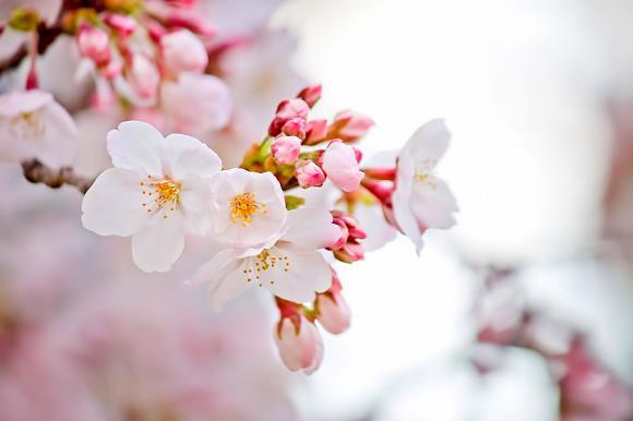 Hoa anh đào, nữ hoàng lưu hương xứ Phù Tang - Ảnh 1.