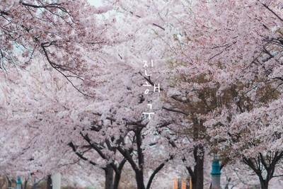 Hàn Quốc - Mùa của hoa đào
